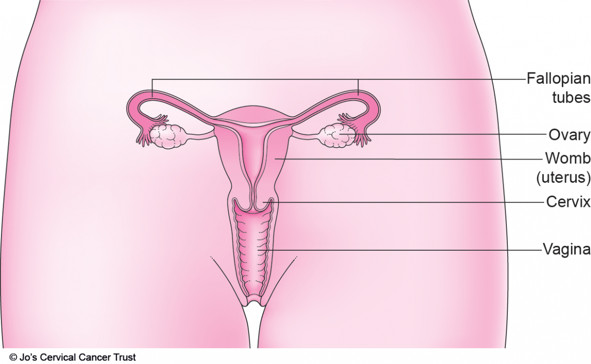 An illustration of the female reproductive system, showing the area between the hipbones, ovaries, fallopian tubes, womb, cervix and vagina.