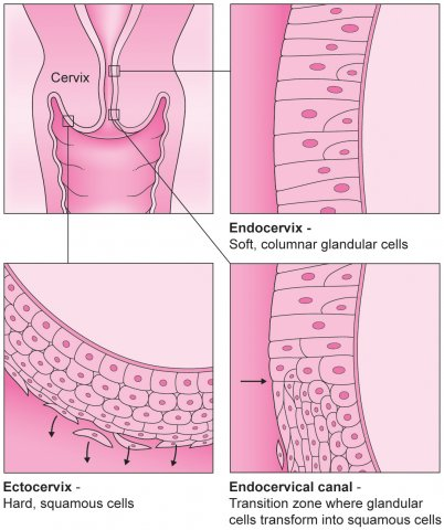 Cervical cells, ectocervix, endocervix